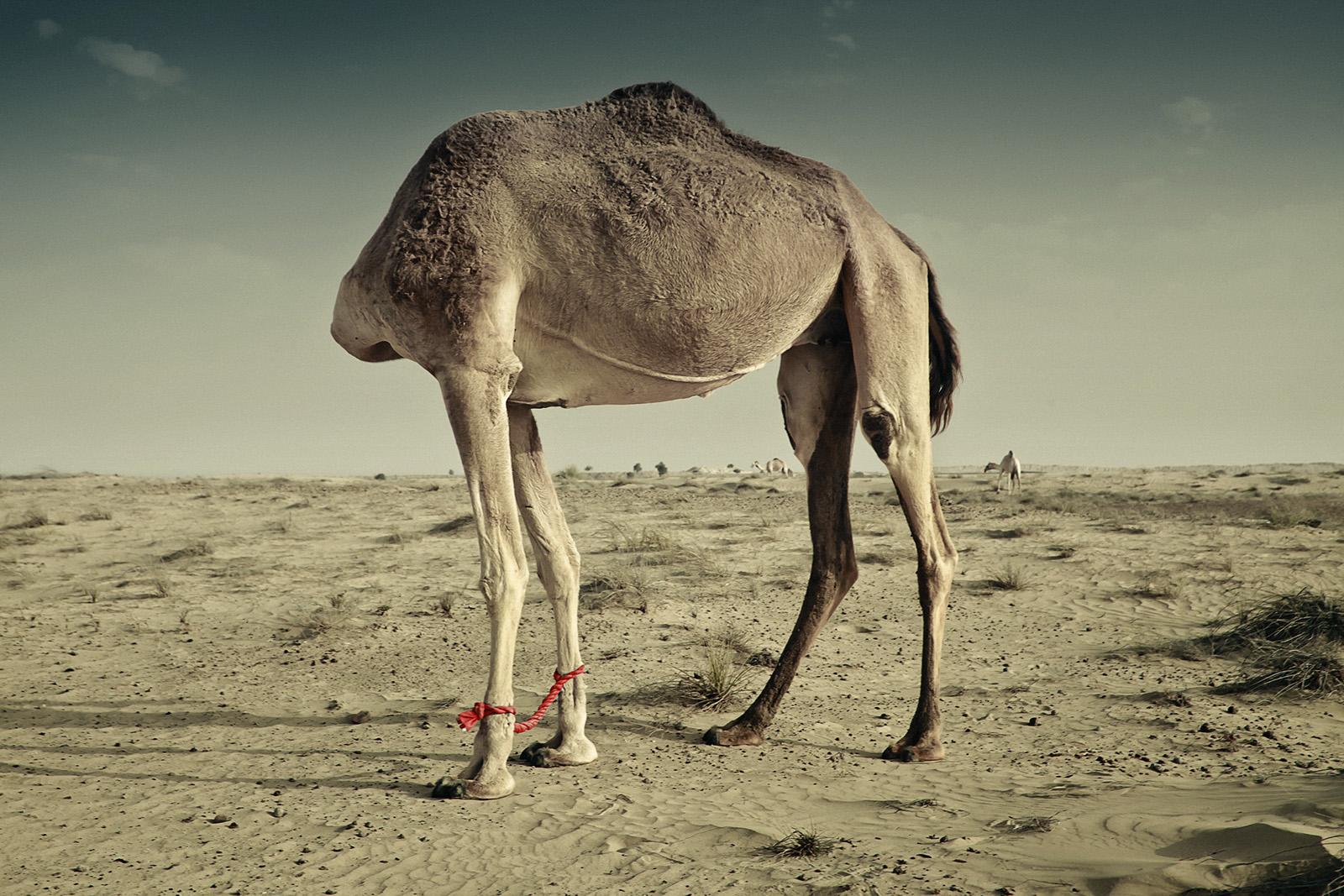 LITEMATTER camel 5