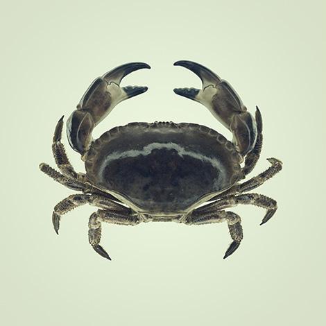 Sea Life Crab